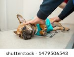 Stock photo dog do x rays on the veterinary x ray machine frightened puppy of breed french bulldog on the 1479506543