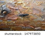 Small photo of Mating behavior of timberman (acahthocinus aedilis)