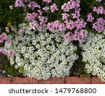 Petite Snow White Flowers Of...