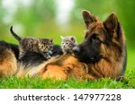 Stock photo german shepherd dog with two little kittens 147977228