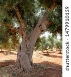 Small photo of large olive tree with knotty central stem and twisted branches