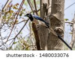 Black Throated Magpie Jay ...