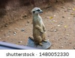 meerkat has curved nails that...   Shutterstock . vector #1480052330