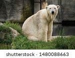 Polar Bear Sitting In The Grass ...