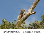 Wild Koala  In A Eucalyptus...