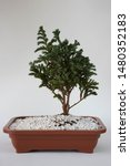 A Vase With A  Cypress Bonsai...