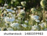 White Carrot Weeds Background....