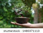 Japanese Juniper Bonsai Tree O...