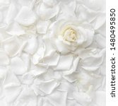 Stock photo beautiful white rose and petals on white background ideal for greeting cards for wedding birthday 1480495850
