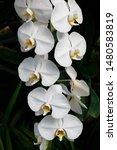 phalaenopsis  is the genus of...   Shutterstock . vector #1480583819