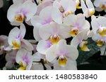 phalaenopsis  is the genus of...   Shutterstock . vector #1480583840