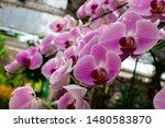 phalaenopsis  is the genus of...   Shutterstock . vector #1480583870