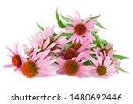 Coneflower Or Echinacea...