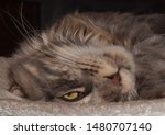 Stock photo  portrait of a main coon cat 1480707140