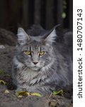 Stock photo  portrait of a main coon cat 1480707143