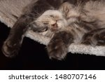 Stock photo  portrait of a main coon cat 1480707146