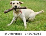 Dog For A Walk With A Stick