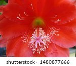 Small photo of Red Crenate Orchid Cactus From Bud to Blossom Close Up