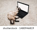 Stock photo a beautiful and cute blue eyed siamese cat is lying on a woolen carpet and looking into a laptop 1480946819