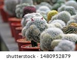 Many White Cactus And Red...