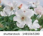 White Flower Blooming In Sprin...
