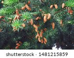 Pine Tree With Pine Cones Seed...