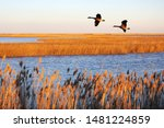 Canada geese in migration at Bombay Hook National Wildlife Refuge, DE