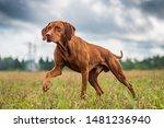 Crouching Hunting Dog. Closeup...
