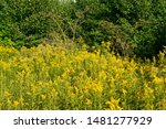 Small photo of Canada goldenrod, rag weed, ragweed, golden rod or solidago canadensis flowers in summer garden close up with selective focus. Trendy aspen gold flower background, invasive weed, strong allergen