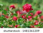 Roses Flowers Blooming In Roses ...
