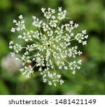 Queen Anne's Lace Or Daucus...