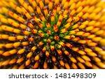 Close up of echinacea purpurea  ...