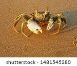 Ghost Crab  Ocypode...