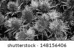 Thistle Flower. Evil Background....