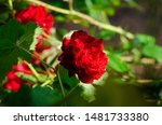 Rose Bush With Red Flowers In...