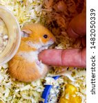 Stock photo finger to stroke the belly of a hamster hamster home in keeping in captivity hamster in sawdust 1482050339