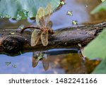 Stock photo brown hawker aeshna grandis close up of dragonfly on a damp log in the river bronze shimmery 1482241166