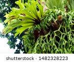 Freshness long leaves of Elkhorn Fern epiphytes on tree