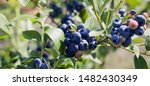 Blueberries   Vaccinium...