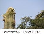 A Hummingbird At A Saguaro...