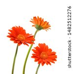 Three Orange Gerber Flowers ...