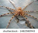 A Giant Adult Spider  Dangerou...