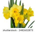 Spring bouquet of flowers isolated on white background. Yellow daffodil isolated on white background. Yellow narcissus on a white background. - stock photo