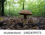A Lonely  Big Bolete Mushroom...