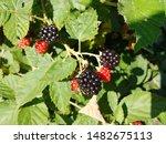 Blackberries Ripening On The...