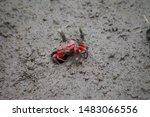The north Vietnamese sesarmidae crab