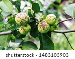 Disease Of Apple Trees. Apples...