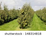 Pear Orchard. Fruit Growing...