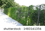Green Fence Covered With Ivy