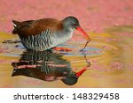 Small photo of African rail hunting in water